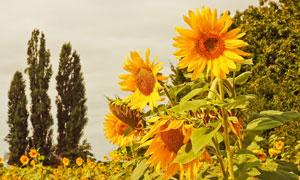 开在树丛旁边的向日葵摄影高清图片
