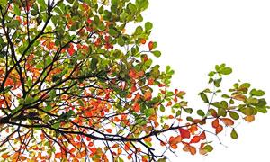 夏秋之际树枝叶子主题摄影高清图片