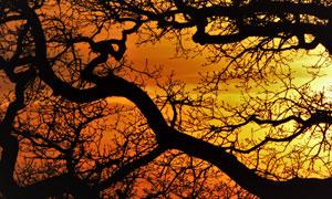 黃昏晚霞樹枝剪影效果攝影高清圖片