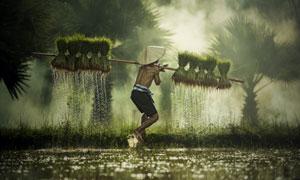 放低了身体挑着秧苗的农民高清图片