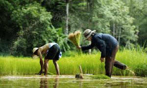 在田里辛勤劳作的农民摄影高清图片