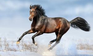雪地上腾空的一匹骏马摄影高清图片