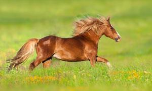 奔跑在花草丛中的马匹摄影高清图片