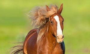 经过一片花丛的马正面摄影高清图片