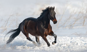 雪地上驰骋的一匹黑马摄影高清图片