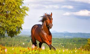 草原上的一匹骏马特写摄影高清图片