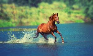 奔跑涉水过河的骏马摄影高清图片