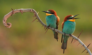 树枝上的两只小鸟特写摄影高清图片
