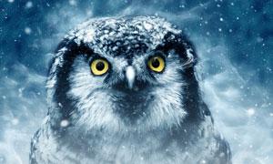 冰冷寒意笼罩的猫头鹰摄影高清图片