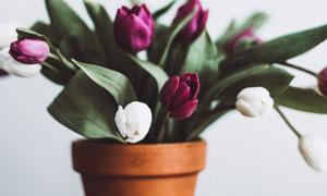 花盆里的郁金香花特写摄影高清图片