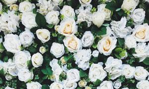 绿色白色玫瑰花朵背景摄影高清图片
