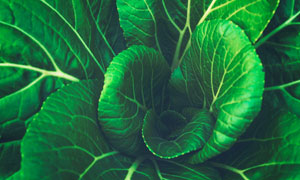 叶子葱绿的小白菜特写摄影高清图片