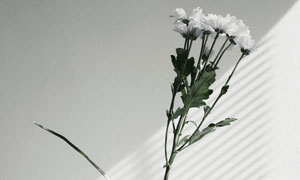 阳光照耀下的菊花特写摄影高清图片