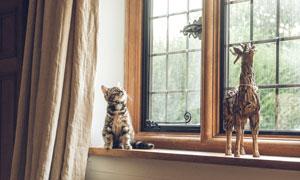 窗台上望着上面的猫咪摄影高清图片