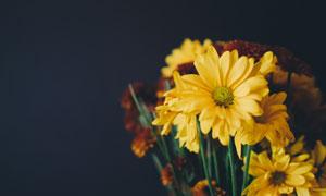 鲜艳黄色菊花花束特写摄影高清图片