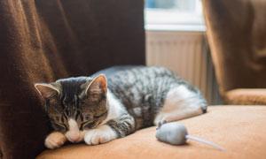 趴在沙发上睡着的小猫摄影高清图片