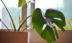 在花盆里的龟背竹植物摄影高清图片
