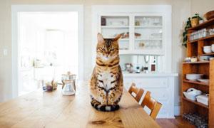端坐在桌上的宠物猫咪摄影高清图片