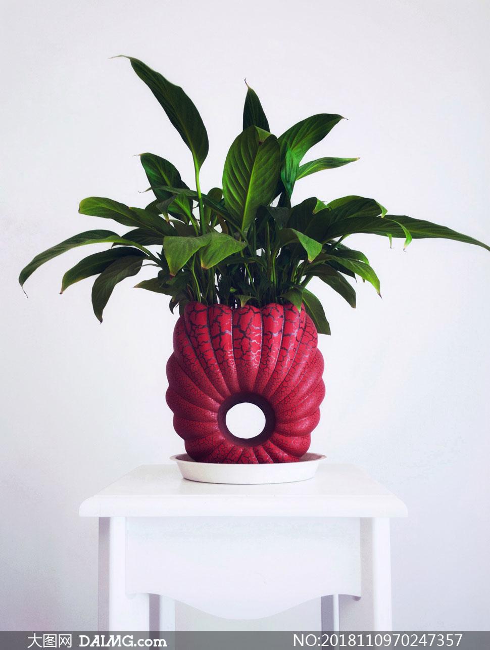 红色花盆中的绿叶植物摄影高清图片