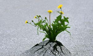 冲破地面的蒲公英植物摄影高清图片