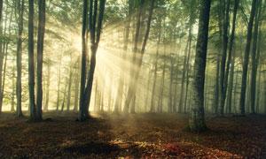 茂密树林中的耀眼阳光摄影高清图片