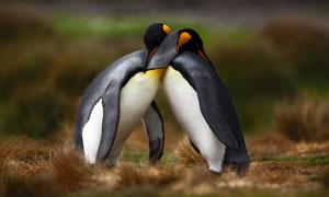两个紧抱在一起的企鹅摄影高清图片