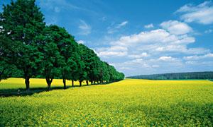 白云树木与成片的油菜田地五百万彩票图片