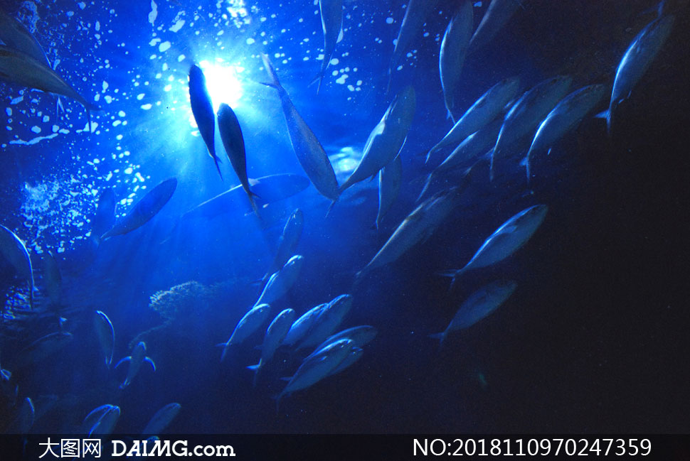 在蓝色水下游动的鱼群摄影高清图片