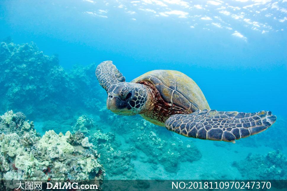 在水下畅游的海龟特写摄影高清图片