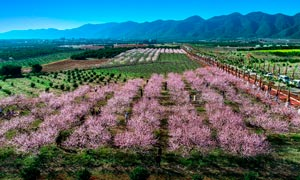 桃花岛美丽桃花林摄影图片