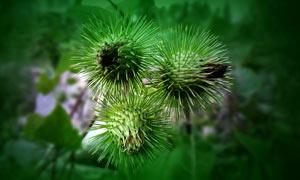 美丽的刺花苞特写高清摄影图片
