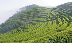 长龙茶山美丽风光摄影图片