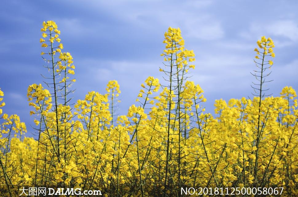 美丽的油菜花近景摄影图片