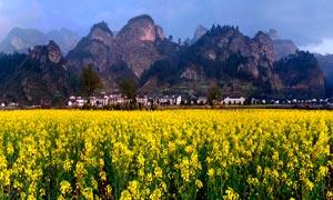 春季崀山美丽的油菜花地摄影图片
