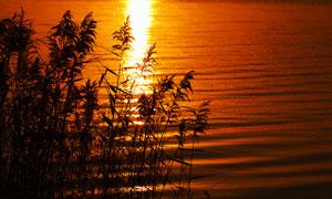 夕阳下湖边芦苇丛高清摄影图片