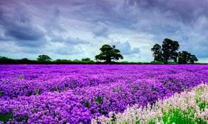 田园美丽的薰衣草花园摄影图片