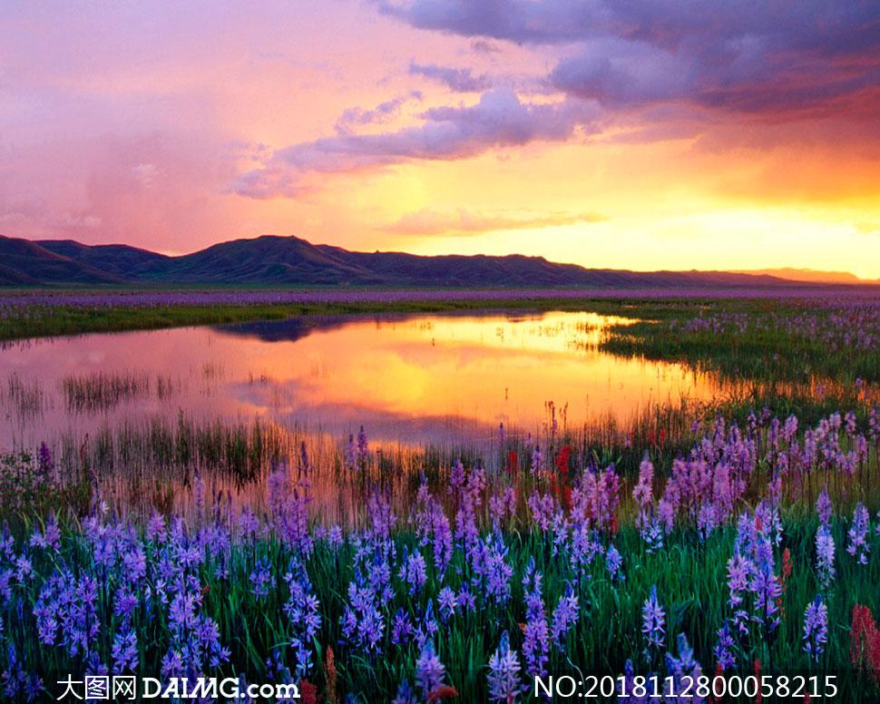 夕阳下水塘边薰衣草花园摄影图片