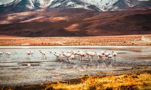 雪山下的火烈鸟鸟群摄影图片