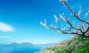 海岛上美丽的樱花树摄影图片