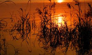 夕阳下湿地中的芦苇丛摄影图片