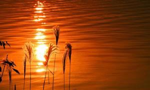 夕阳下美丽的芦苇丛摄影图片