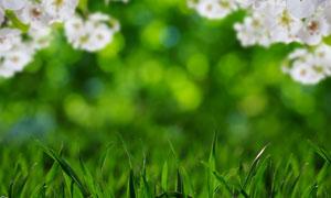 草丛与盛开的白色花朵摄影高清图片