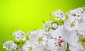 春夏时盛开的白花特写摄影高清图片
