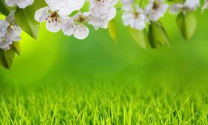 春天里的树枝白花青草摄影高清图片