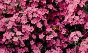 引来蝴蝶的粉红色花卉植物高清图片