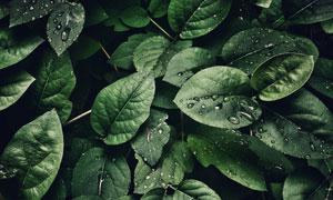挂着水珠的嫩绿叶特写摄影高清图片