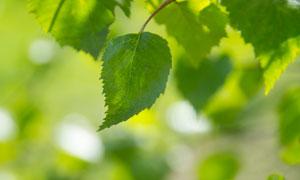 树枝上的绿叶微距特写摄影高清图片
