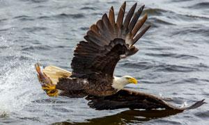 翅膀掠过水面的鹰特写摄影高清图片
