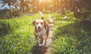 乡间小路伸着舌头的狗摄影高清图片