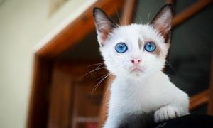 有着一双蓝色眼睛的小猫咪高清图片
